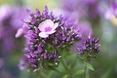 Fleurs de paniculata de Phlox Images libres de droits