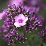 Fleurs de paniculata de Phlox Image stock