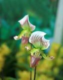 Fleurs de pantoufle de Madame Photographie stock libre de droits