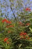 Fleurs de paon Photographie stock libre de droits