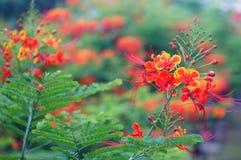 Fleurs de paon Photos libres de droits