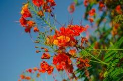 Fleurs de paon Images stock