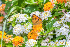 Fleurs de papillon Photographie stock