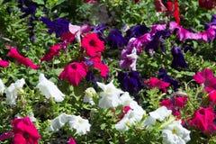 fleurs de parterre Lit planté de jardin de fleurs sous forme de C.A. image libre de droits