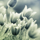 Fleurs de Pasque Photo libre de droits