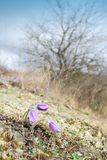 Fleurs de pasque sauvages Image libre de droits