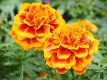 Fleurs de patula de Tagetes Image libre de droits
