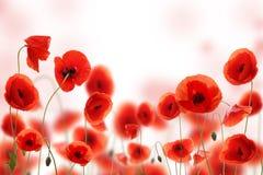 Fleurs de pavot Photos libres de droits