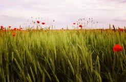 Fleurs de pavot Images libres de droits