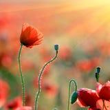 Fleurs de pavot Photo libre de droits