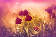 Fleurs de pavot Photographie stock