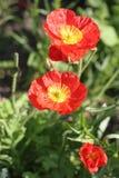 Fleurs de pavot Photographie stock libre de droits
