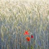 Fleurs de pavot avec le ciel de ble Images libres de droits