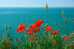 Fleurs de pavot contre la mer Photo stock
