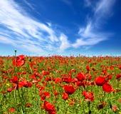 Fleurs de pavot d'été Image libre de droits