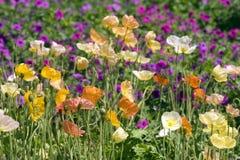 Fleurs de pavot d'Islande Photos stock