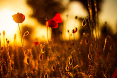 Fleurs de pavot dans le coucher du soleil Photographie stock libre de droits