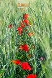 Fleurs de pavot dans le domaine Images stock