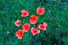 Fleurs de pavot dans le paysage néerlandais de rivière Photo stock