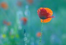 Fleurs de pavot de fleur sur le pré Images stock
