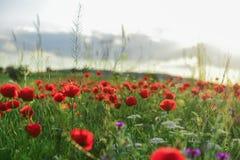 Fleurs de pavot et nature paisible Image stock