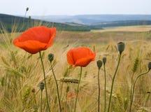 Fleurs de pavot et zone de blé Photo stock