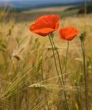 Fleurs de pavot sur la zone de blé Photos stock