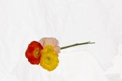 Fleurs de pavot sur le blanc Photographie stock