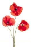 Fleurs de pavot sur le blanc photos libres de droits
