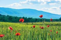 Fleurs de pavot sur un champ rural en montagnes image libre de droits