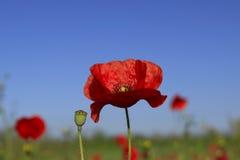 Fleurs de pavot sur un fond vert Images libres de droits
