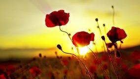 Fleurs de pavots au coucher du soleil banque de vidéos