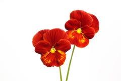 Fleurs de pensée Photo libre de droits
