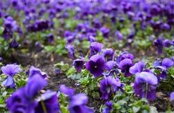 Fleurs de pensée dans la couleur riche Photos stock