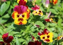 Fleurs de pensée en jaune et rouge Image libre de droits