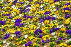 Fleurs de pensées Fond ou texture coloré photographie stock