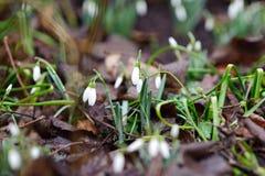 Fleurs de perce-neige de ressort dans la terre Photographie stock libre de droits