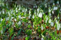 Fleurs de perce-neige de source Images libres de droits
