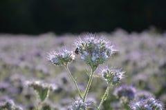 Fleurs de Phacelia dans la lumière arrière Image stock