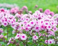 Fleurs de phlox Photo libre de droits