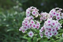 Fleurs de phlox Photos libres de droits
