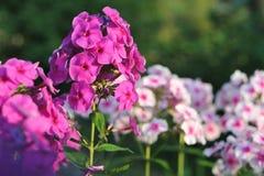 Fleurs de phlox Photographie stock libre de droits