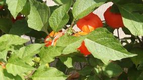 Fleurs de Physalis Images stock