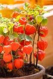 Fleurs de physalis d'alkékenge photos stock