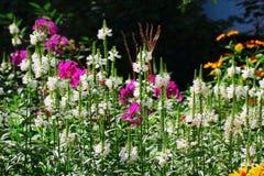 Fleurs de Physostegia Image stock