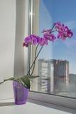 Fleurs de pièce sur le rebord de fenêtre. Phalaenopsis Photographie stock libre de droits