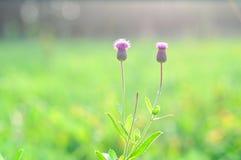 Fleurs de piquant Images stock