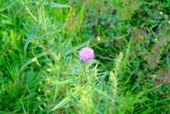 Fleurs de piquant en été image stock