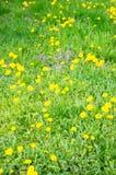 Fleurs de pissenlit Photographie stock