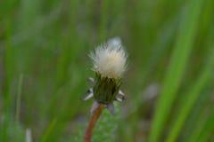 Fleurs de pissenlit Image stock